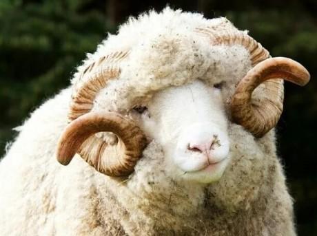 Достоинства мериносовых овец