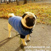 Теплый свитер для мопса. Работа Евгении Руденко