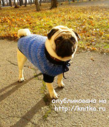 Теплый свитер для мопса. Работа Евгении Руденко. Вязание спицами.
